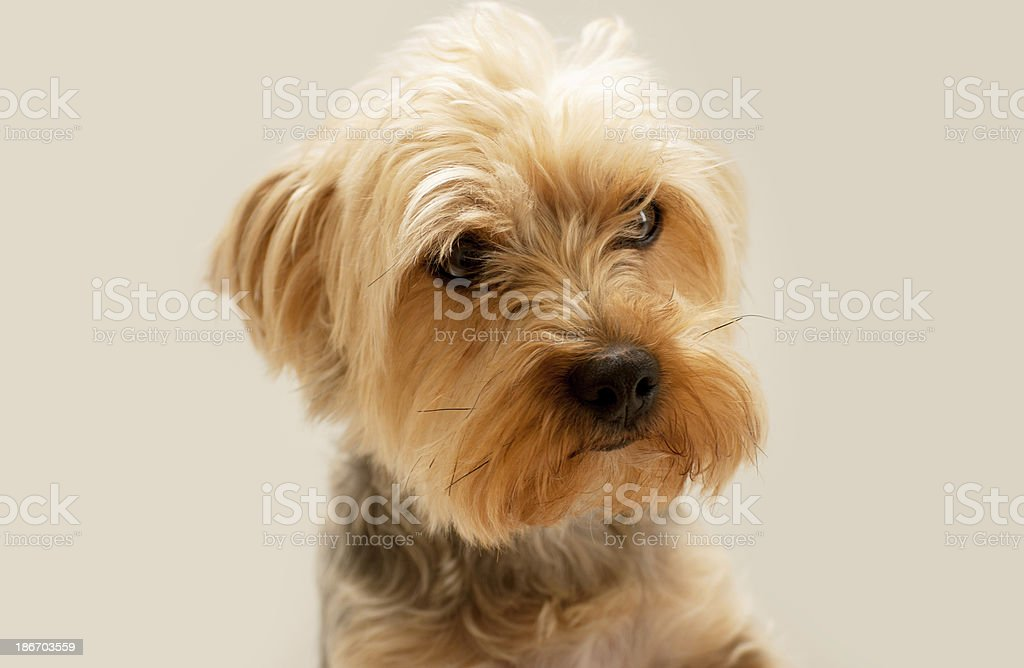 Yorkie royalty-free stock photo