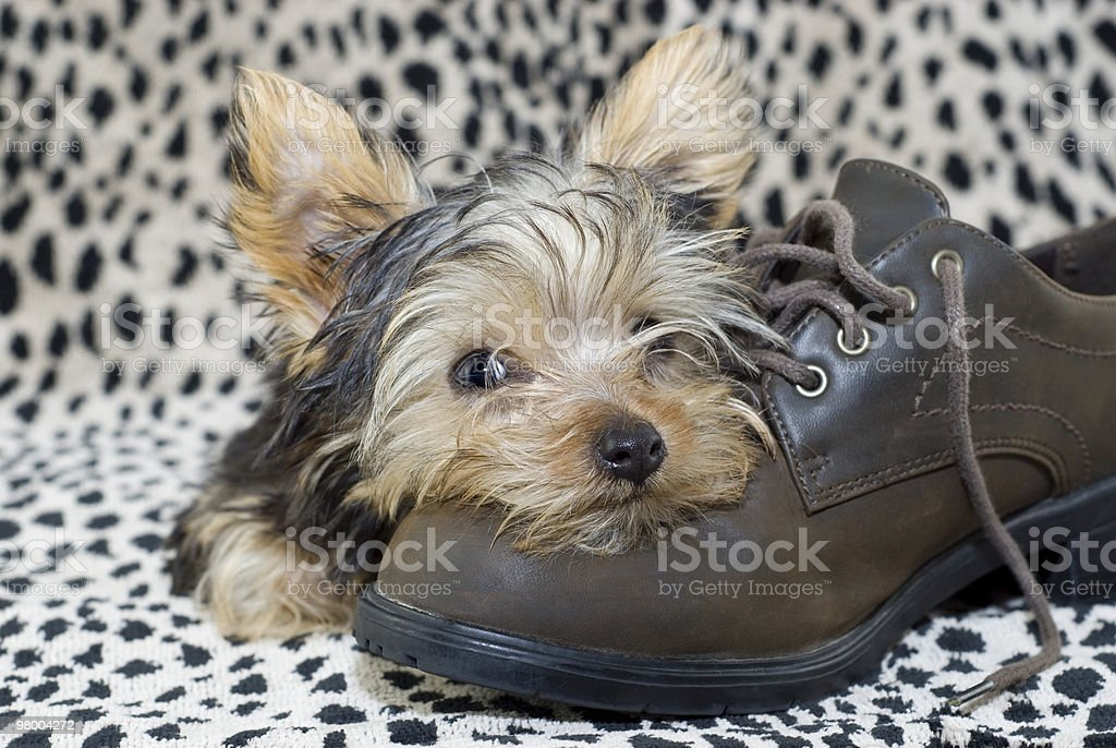 Yorkie Puppy lying on Shoe royalty free stockfoto
