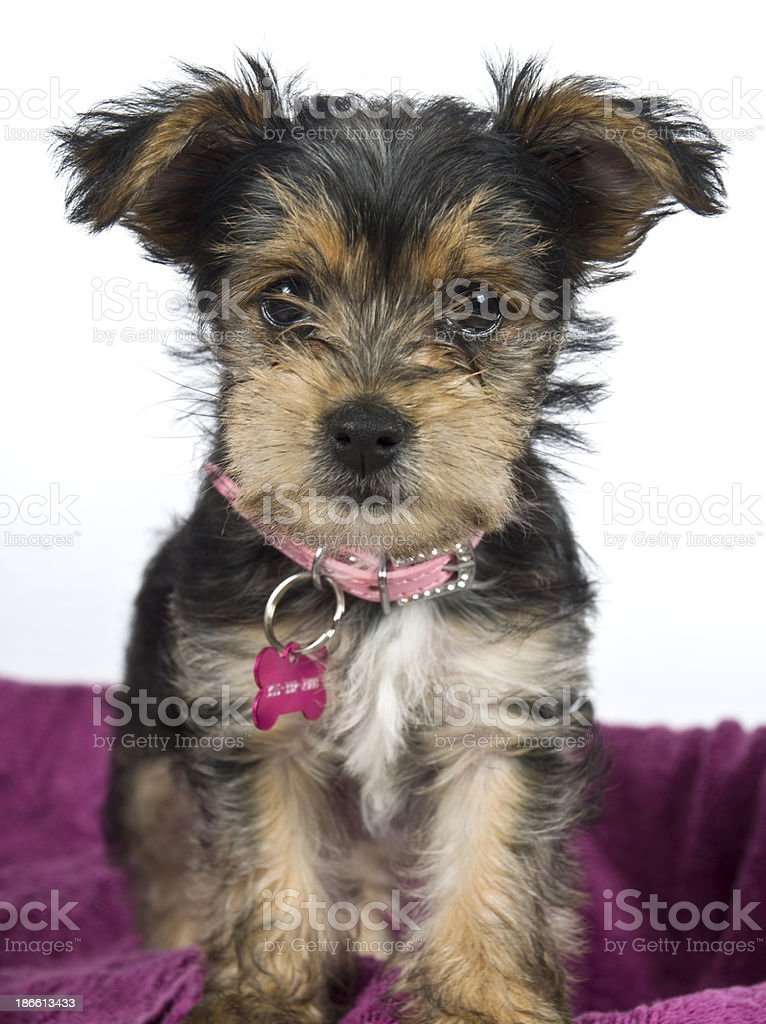 Yorkie Puppy Pet Portrait Pose Against White And Purple stock photo
