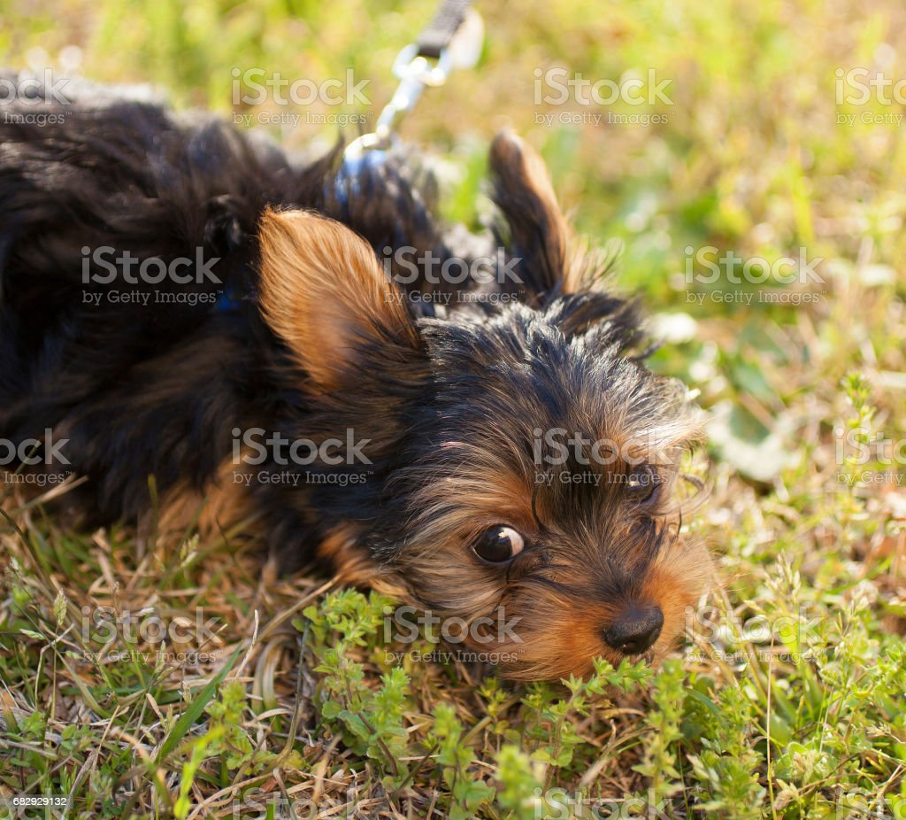 Yorkie puppy royalty-free stock photo
