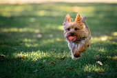 istock Yorkie Puppy Playing Fetch 1019428258
