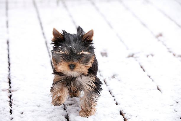 Yorkie Puppy Running In The First Snow Of Winter Stock Photo More