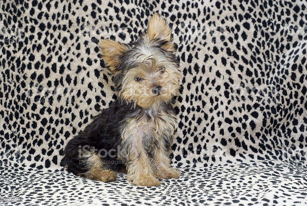 Yorkie Puppy Sitting royalty-free stock photo