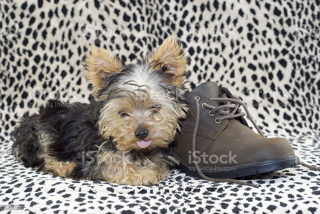 Yorkie Puppy with Brown Shoe royalty free stockfoto