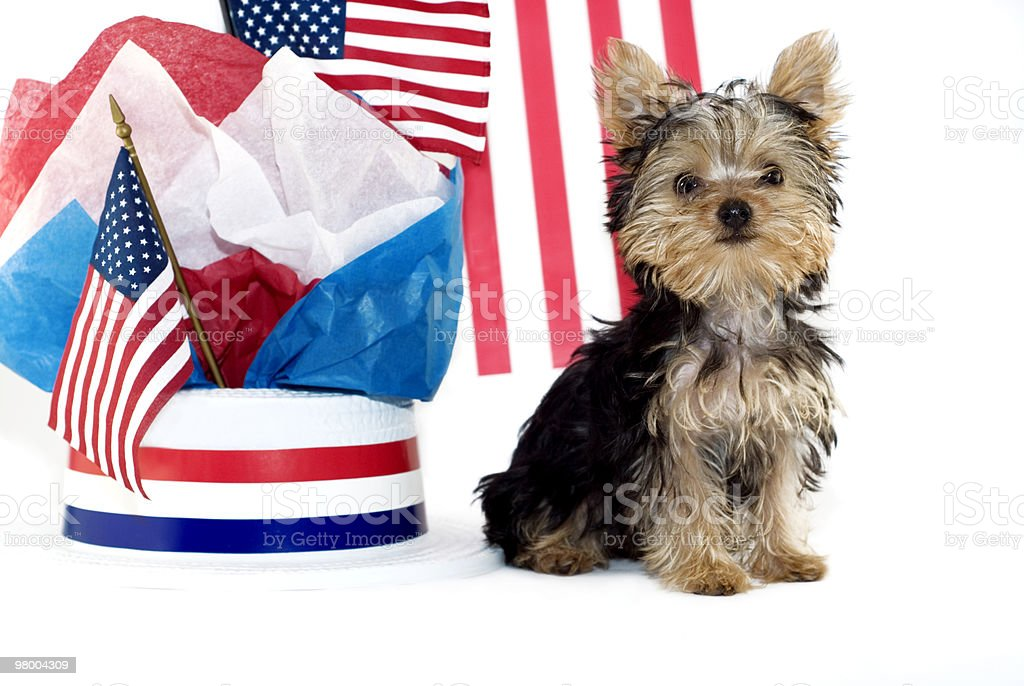 Yorkie cachorrinho com tema de Patriota foto royalty-free
