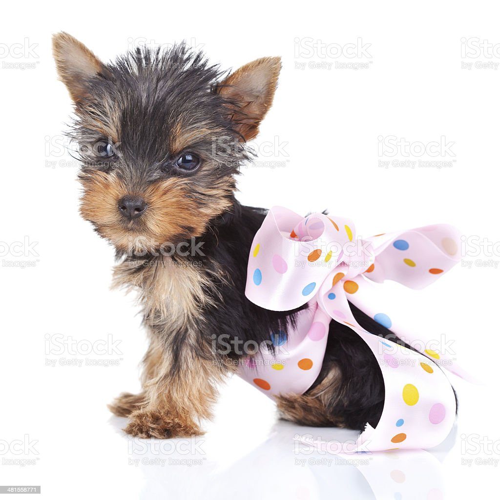 yorkie toy in a pinky bow stock photo
