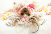 Yorkie wearing pajamas lying down on her back looking at camera