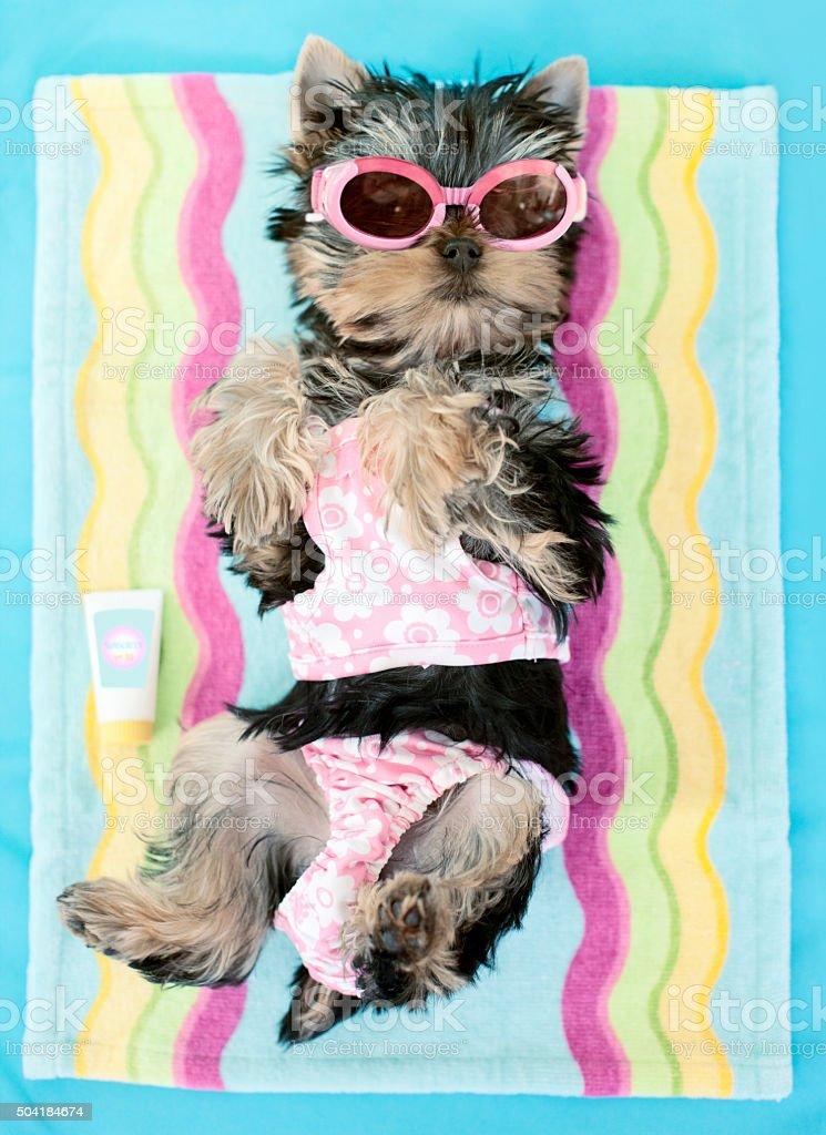 Liegestuhl Liegen.Yorkie Mit Swim Anzug Und Sonnenbrille Auf Liegestuhl Liegen