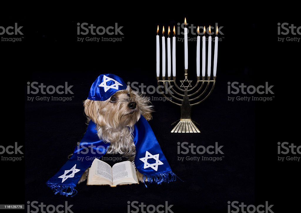 Yorkie with a Prayer Shawl stock photo