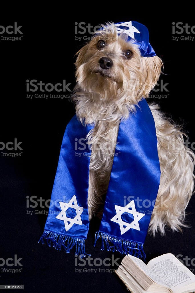 Yorkie with a Yarmulke stock photo