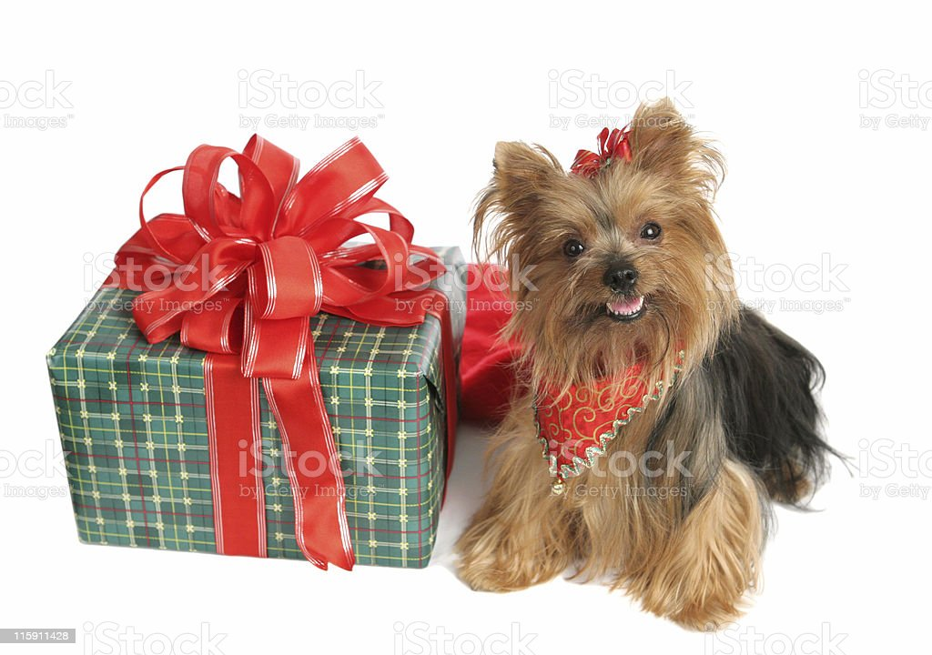 Yorkie with Christmas Gift royalty-free stock photo