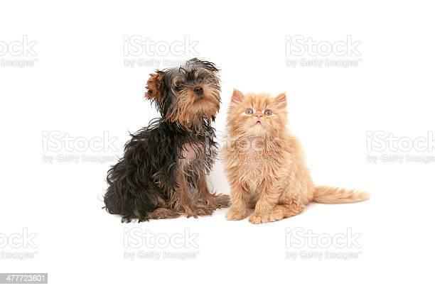 Yorkshire and persian cat picture id477723601?b=1&k=6&m=477723601&s=612x612&h=dog0mqaylthfjhrcnx6tokj6ppmbgt2temihw8eedga=