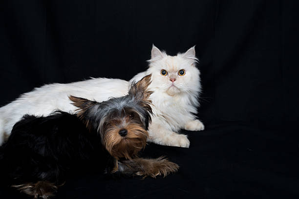 Yorkshire dog and a persian cat on a black background picture id472687926?b=1&k=6&m=472687926&s=612x612&w=0&h=whfkhc3rw9ugvifvszwkjoy7l79ipp4z0  ztwmdxha=