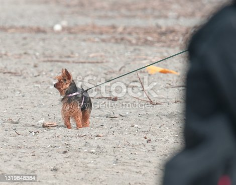 istock yorkshire dog in a beach 1319848384