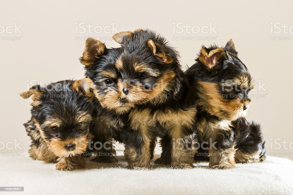 Yorkshire puppy pack isolated on white stock photo