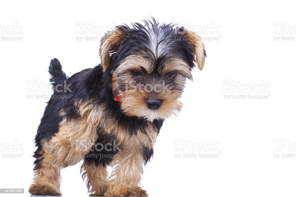 yorkshire puppy standing and looking stock photo