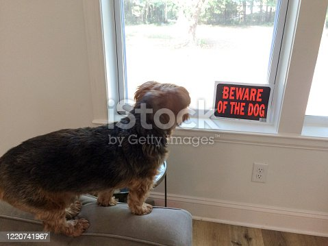 yorkshire small dog guarding home beware of dog sign