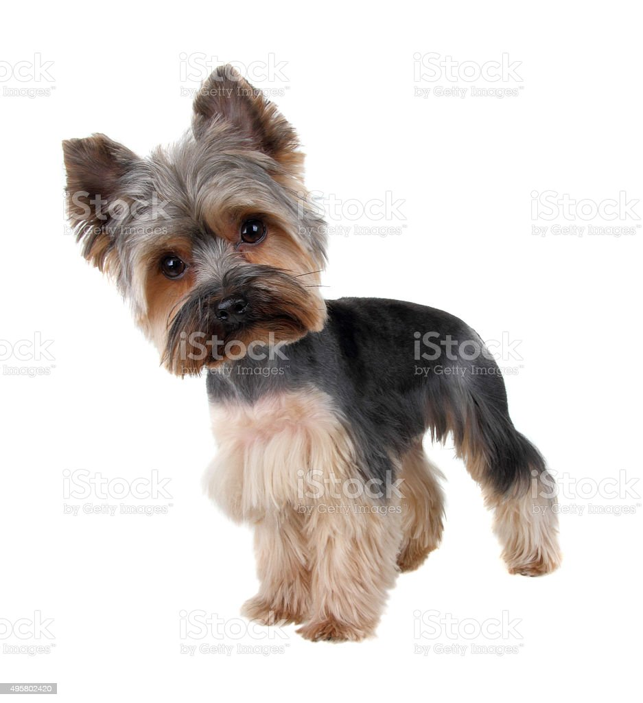 yorkie haircuts pictures, images and stock photos - istock