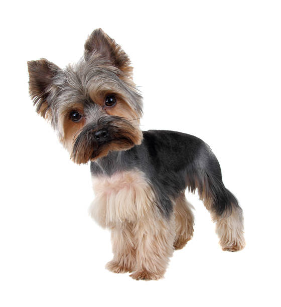 Royalty Free Yorkie Haircuts Pictures Images And Stock Photos Istock