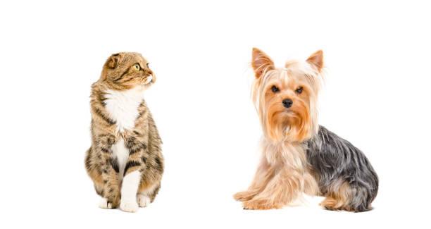 Yorkshire terrier and cat scottish fold picture id1215945340?b=1&k=6&m=1215945340&s=612x612&w=0&h=xtwfn su0snz9ld0njimeaghrppzvwvy2ks862nsejm=