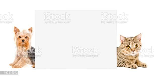 Yorkshire terrier and cat scottish straight lying behind banner on picture id1180215542?b=1&k=6&m=1180215542&s=612x612&h=yn6erthlfd6pi5deiulg9uuasstv6rlo3u bkvdck0i=