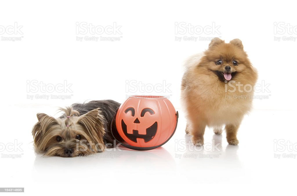 Yorkshire Terrier and spitz, Pomeranian dog with halloween pumpkin royalty-free stock photo