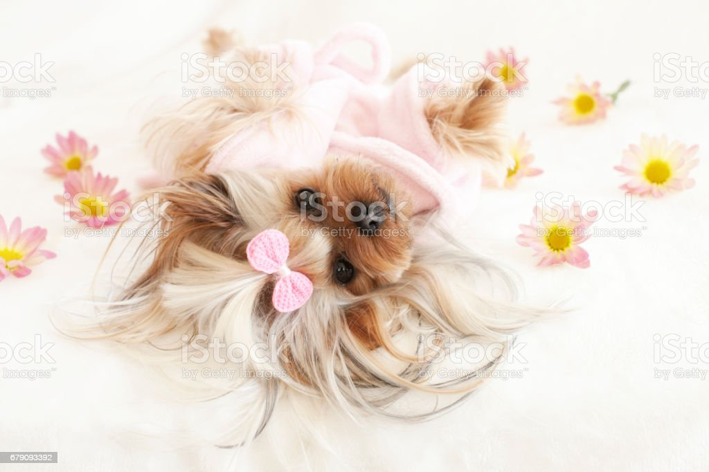 Yorkshire terrier at the Spa in a Pink Robe Relaxing Surrounded by Daisies stock photo