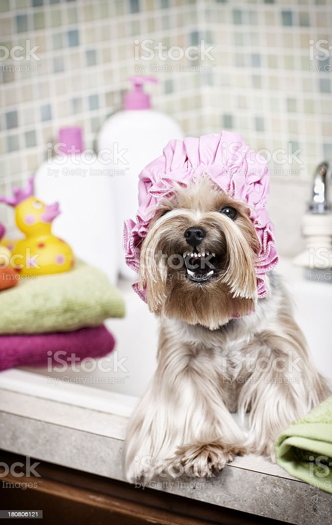 Yorkshire Terrier barking about bathtime royalty-free stock photo