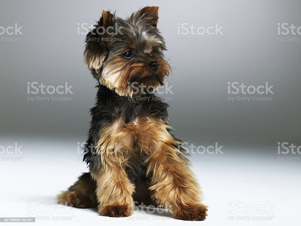Yorkshire terrier, close-up foto de stock libre de derechos