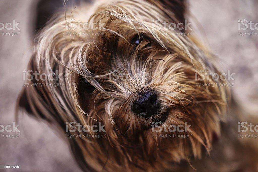 Yorkshire terrier close-up portrait stock photo