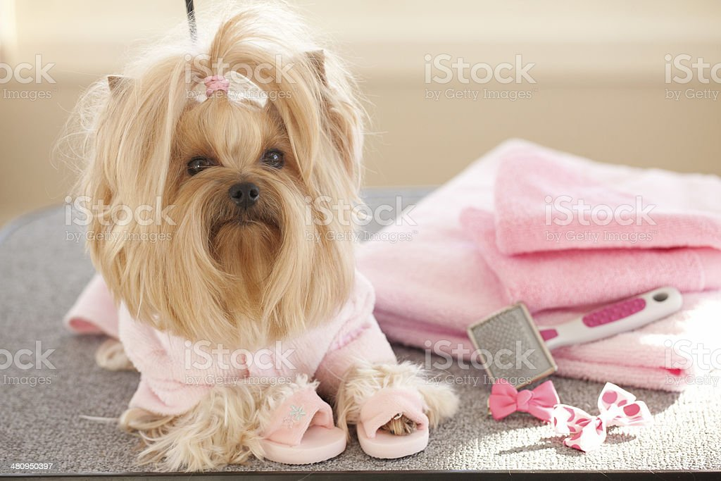 Yorkshire Terrier Day at the Groomer-Spa stock photo
