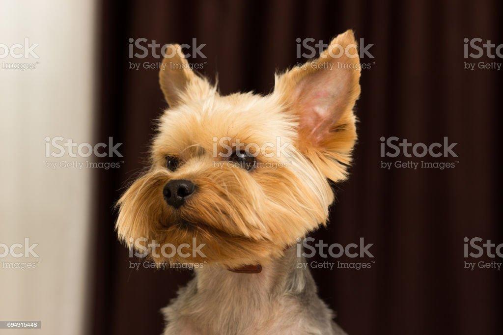 Yorkshire Terrier Dog After Haircut Closeup Portrait Stock Photo