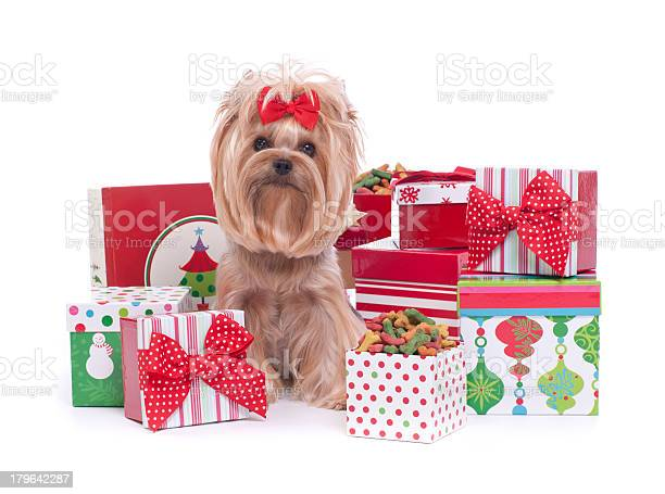Yorkshire terrier dog and christmas gifts picture id179642287?b=1&k=6&m=179642287&s=612x612&h=whujdaguyir vxzoh7ndkh1stihhrtgk51rszsvenn4=