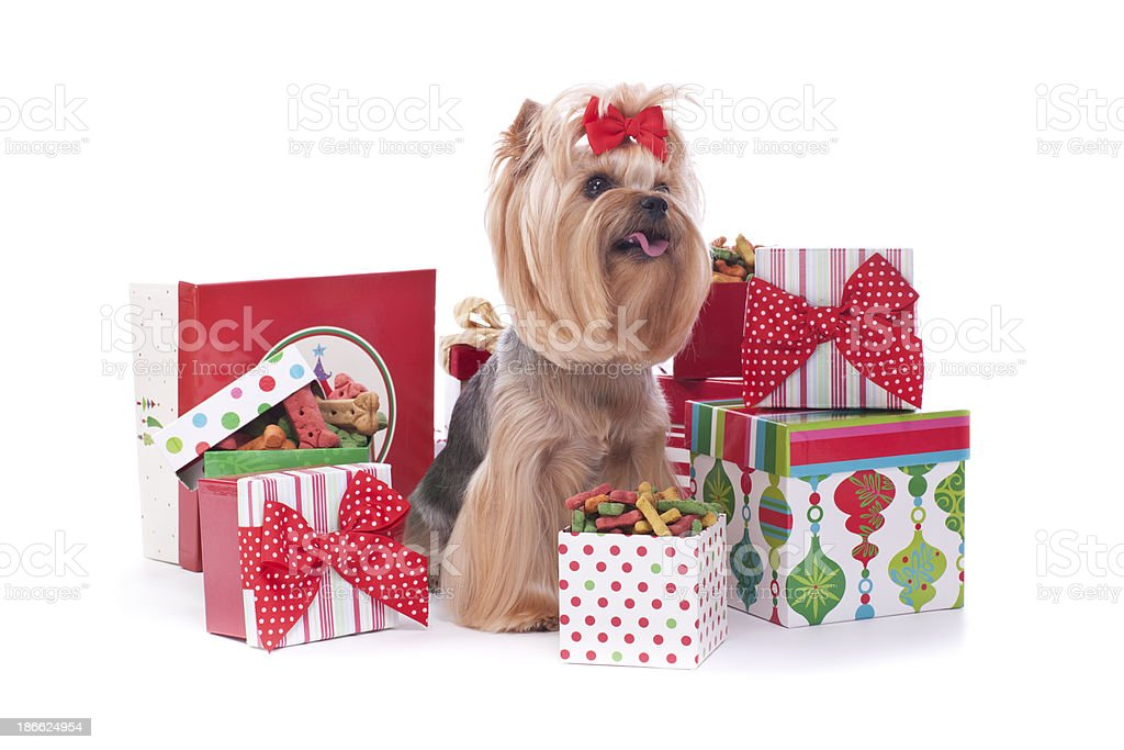Yorkshire Terrier Dog And Christmas Gifts Stock Photo More
