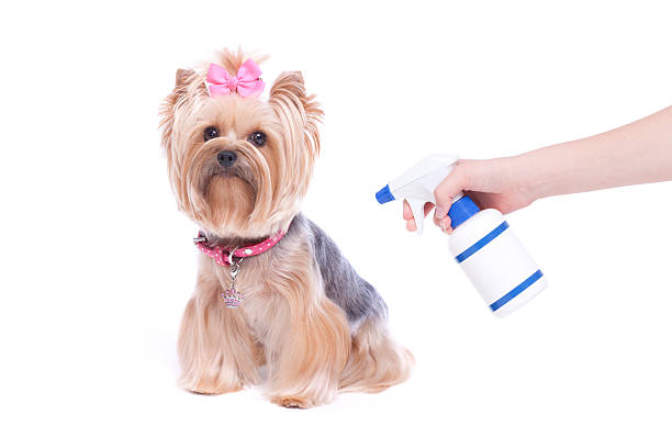 yorkshire terrier welpe hund und floh und häkchen vorbeugende - zeckenmittel stock-fotos und bilder