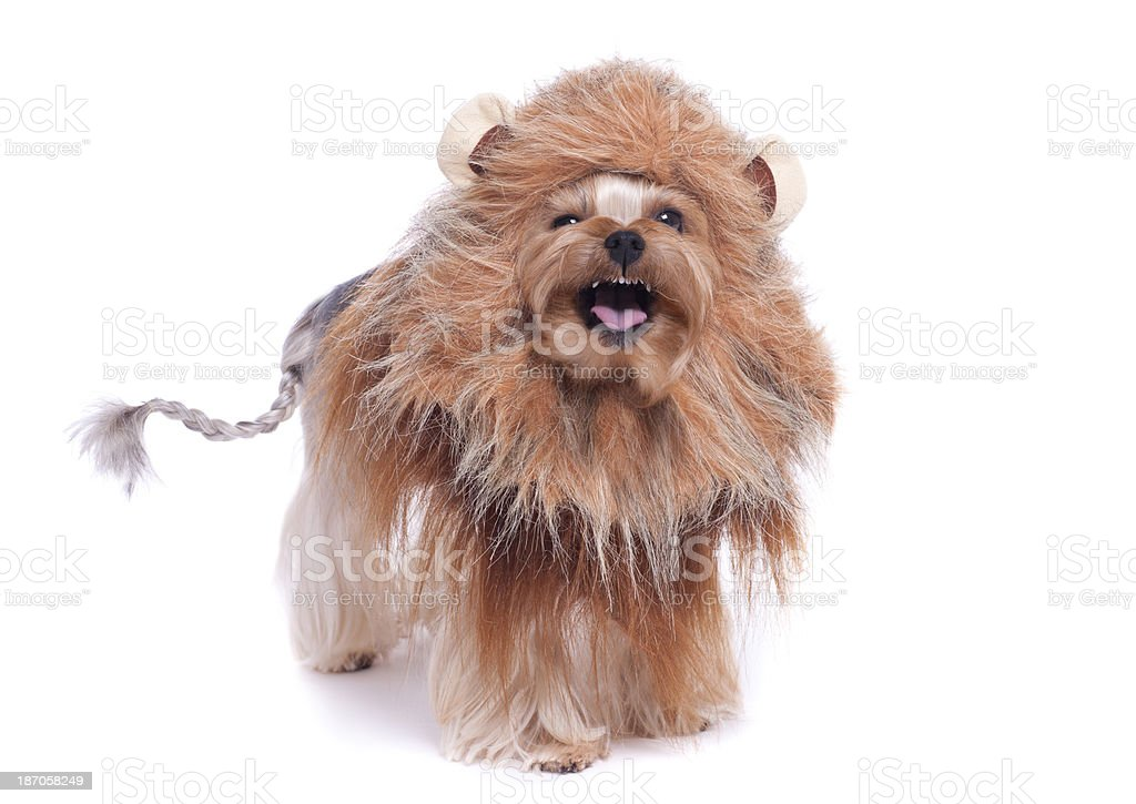 Yorkshire Terrier Dog As a Lion stock photo