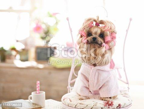 Yorkshire terrier wearing curlers at the grooming salon. Vintage feel.