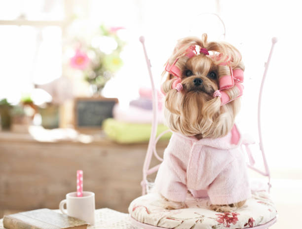 Yorkshire Terrier Dog at the Grooming Salon Yorkshire terrier wearing curlers at the grooming salon. Vintage feel. diva human role stock pictures, royalty-free photos & images