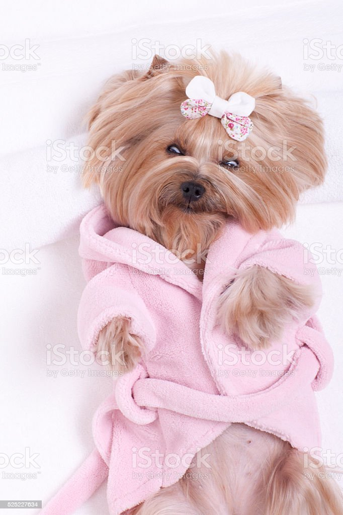Yorkshire Terrier Dog Day at the Beauty Salon Spa Treatment Relaxing...