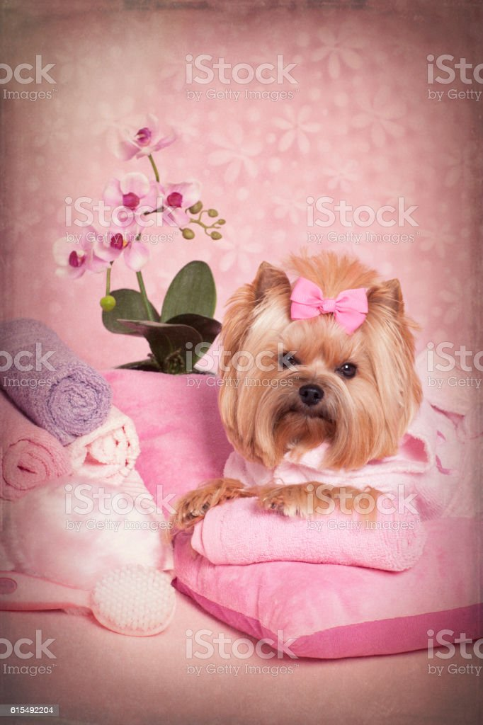 Yorkshire Terrier Dog Day at the Pet Grooming Salon Spa