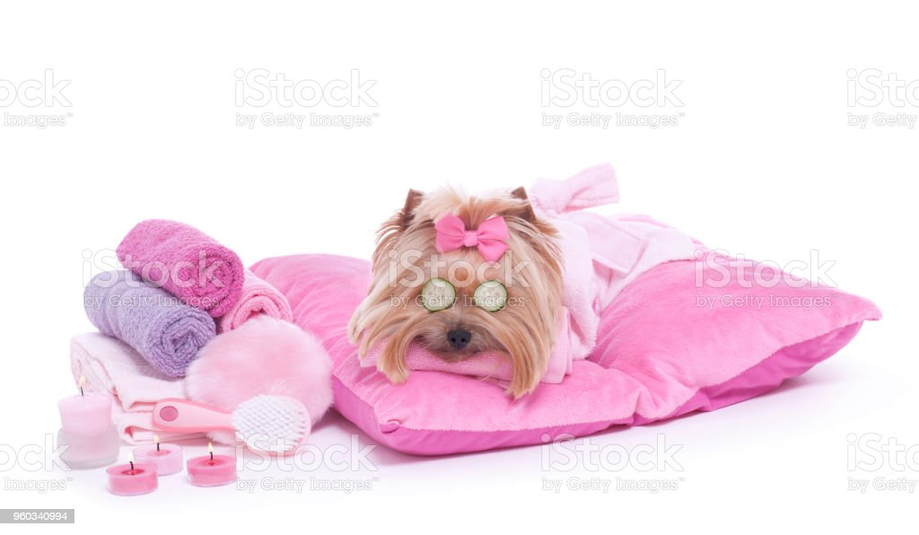 Adorable yorkie with eye mask of cucumbers waiting for her massage at...