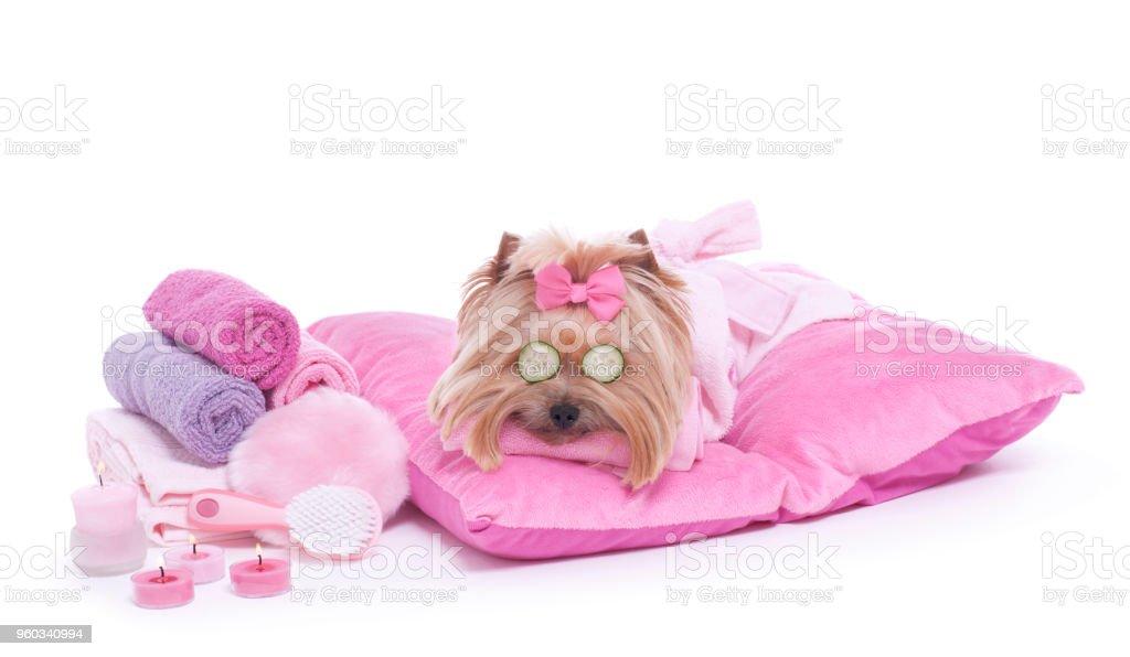 Yorkshire-Terrier Hund Tag im pet grooming Salon spa – Foto