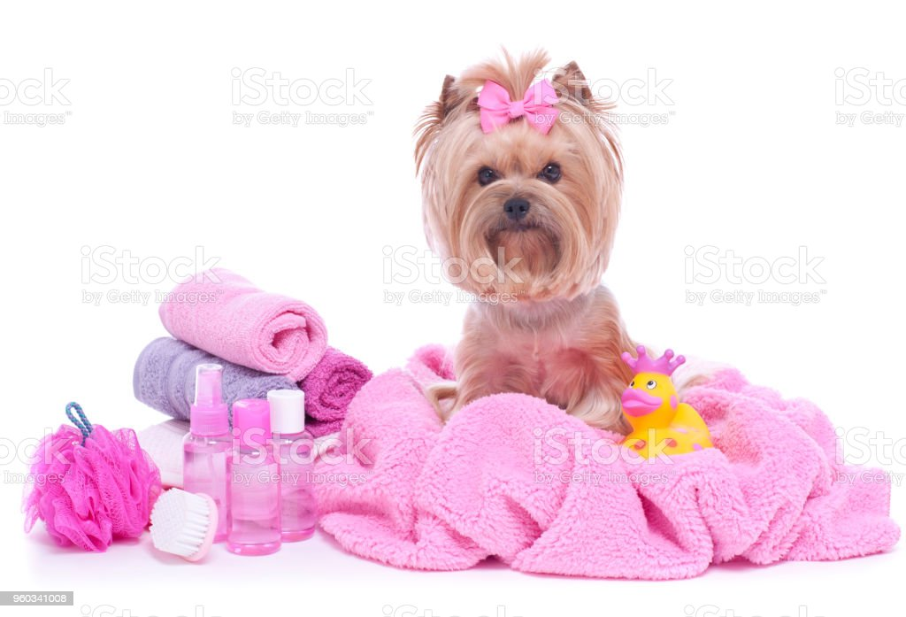 Yorkshire Terrier Dog Day At The Pet Grooming Salon Spa Stock Photo