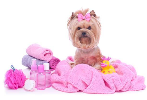 Yorkshire terrier dog day at the pet grooming salon spa picture id960341008?b=1&k=6&m=960341008&s=612x612&w=0&h=iacxxpjafqu0boywazu1mr xxf5ggpweu6gcnl6yyik=