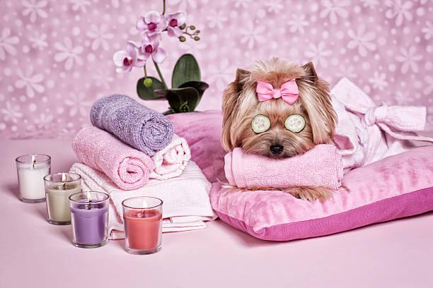 Yorkshire terrier dog day at the spa picture id481490319?b=1&k=6&m=481490319&s=612x612&w=0&h=gk jnwe4nnw 36xxymzjt7gkkjibf0gsvicdnxvbabe=