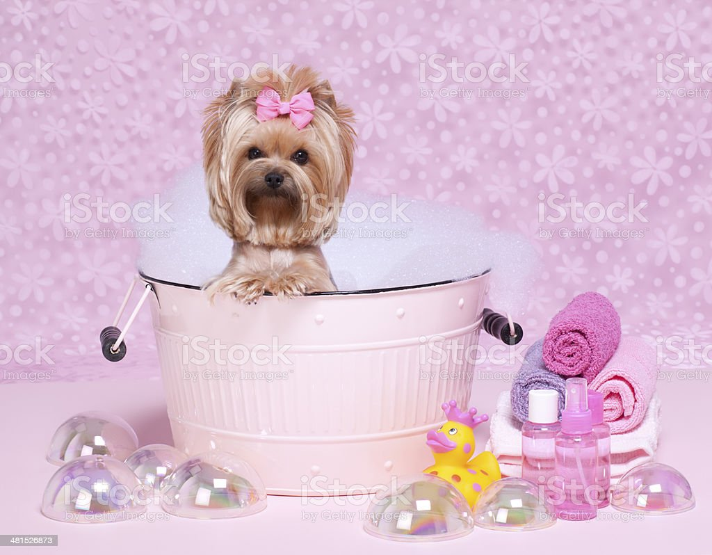 Yorkshire Terrier Dog Day at the Spa stock photo