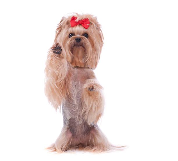 Yorkshire Terrier dog doing tricks stock photo