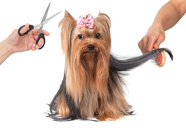 Best Yorkie Haircuts Stock Photos Pictures Amp Royalty Free