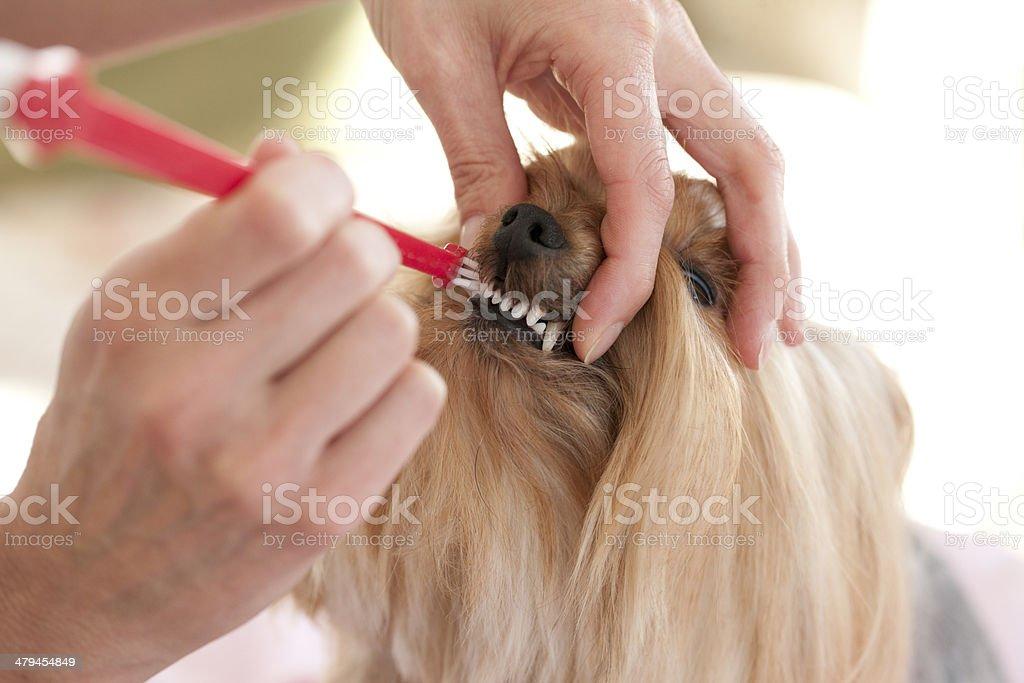 Yorkshire Terrier Dog having her Teeth Brushed stock photo
