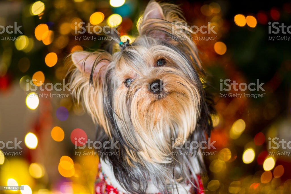 Yorkshire Terrier dog in a checkered suit sits on a Christmas tree garland background stock photo